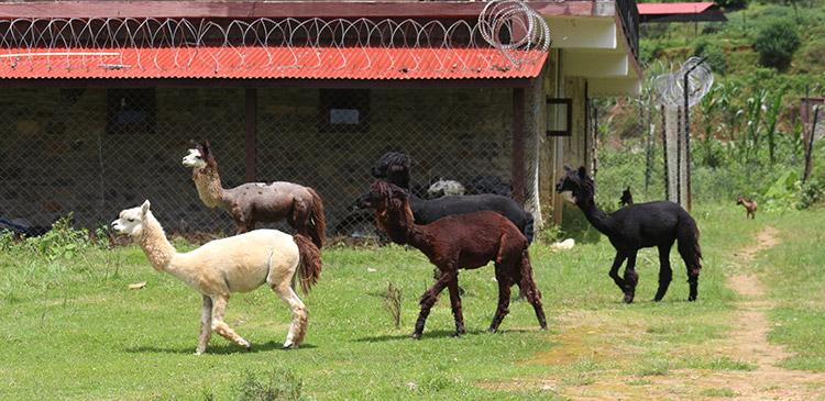 Alpaca in Nepal